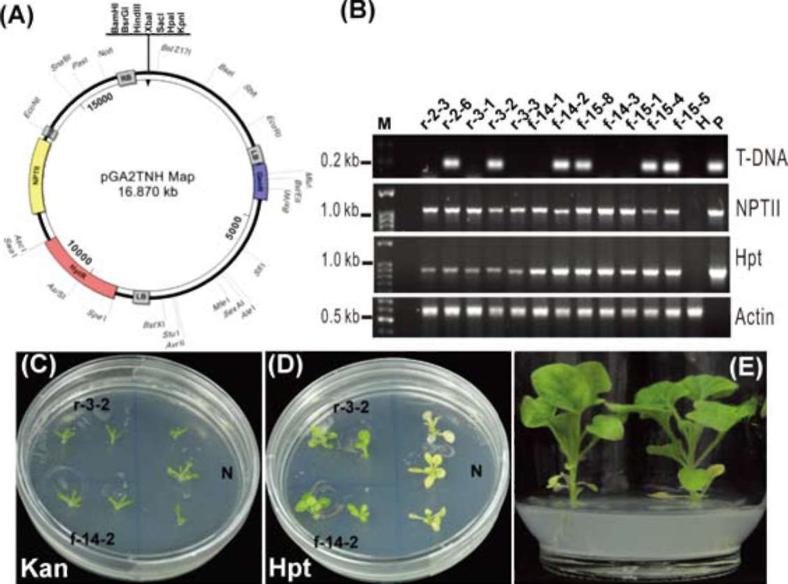 Kir Genes And T1d 2 also The Role Of Activation Induced Cytidine Deaminase In Lymphomagenesis Free Downl besides 1 2 gmo transformation furthermore Ge ic Diversity In Bananas And Plantains Musa Spp further Scielo. on schematic representation of t dna